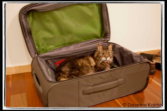 pussycat in suitcase