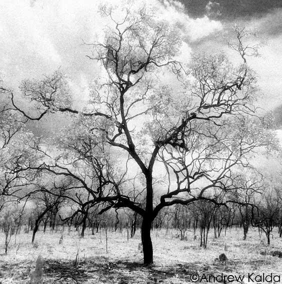 Tablelands Tree