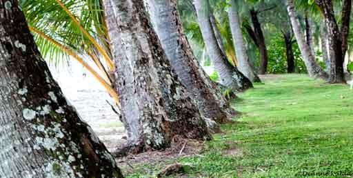 Palm Trees, Palm Cove