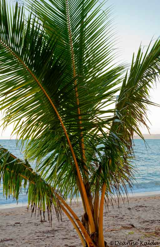 palm at  Palm Cove